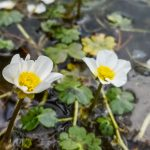 Water-crowfoot | Ranunculus aquatilis