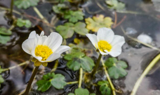 Водно лютиче | Ranunculus aquatilis