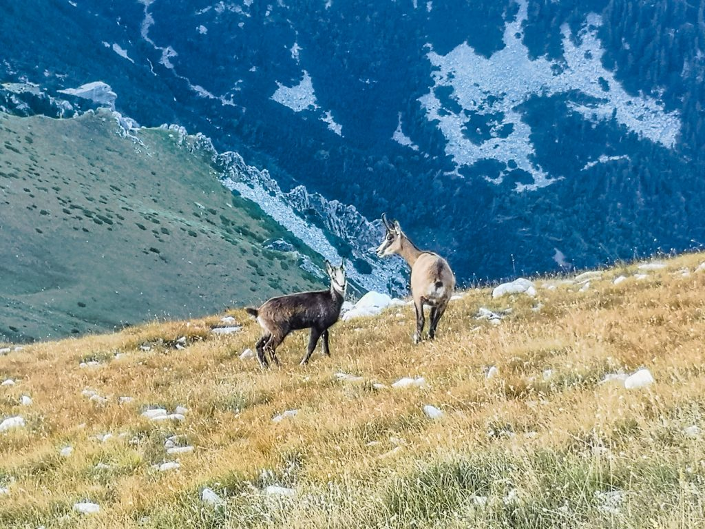 Диви кози на Кончето Пирин