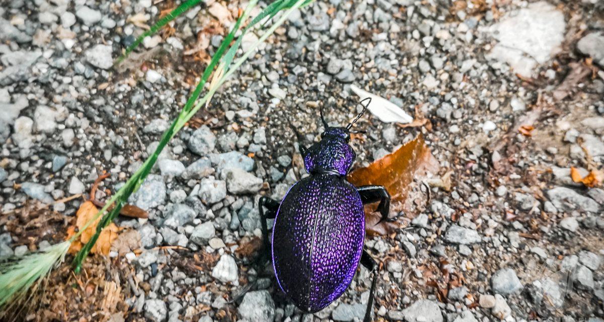 Violet Ground Beetle – Carabus violaceus