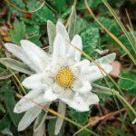 Edelweiss in Balkan Mountains