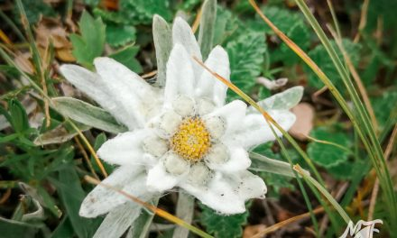 Edelweiss in Balkan Mountains